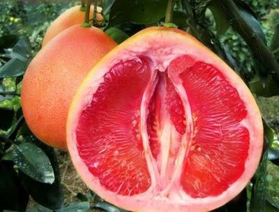 广西壮族自治区钦州市灵山县三红蜜柚苗