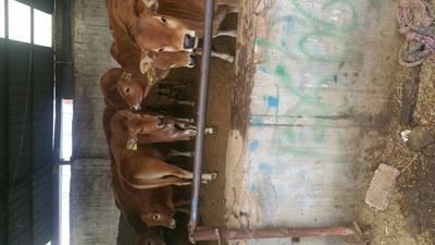 这是一张关于三元杂交牛 200-300斤 统货的产品图片