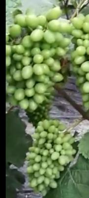 辽宁省大连市普兰店市着色香葡萄 5%以下 2次果 0.8-1斤