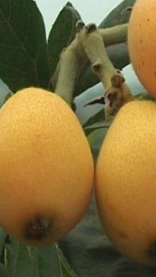 这是一张关于茂木枇杷的产品图片