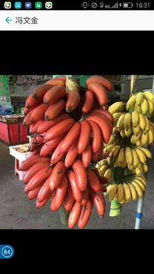 河北省衡水市桃城区红蕉 七成熟 50 - 60斤
