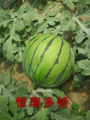 山东省潍坊市青州市京欣西瓜种子