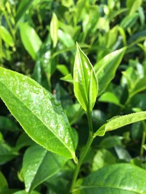 云南省西双版纳傣族自治州景洪市大叶古树普洱茶 散装 三级