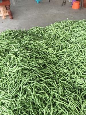广西壮族自治区北海市合浦县白花四季豆 12cm以上