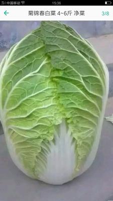 山东省潍坊市青州市菊锦大白菜 3~6斤 净菜