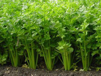 江苏省南通市港闸区法国皇后芹菜 40~45cm 大棚种植 0.5斤以下