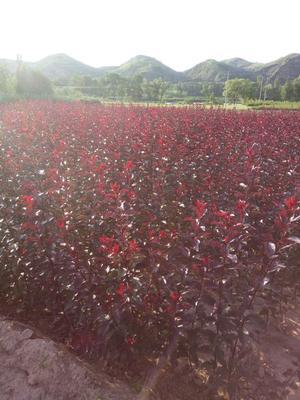 陕西省榆林市绥德县紫叶矮樱