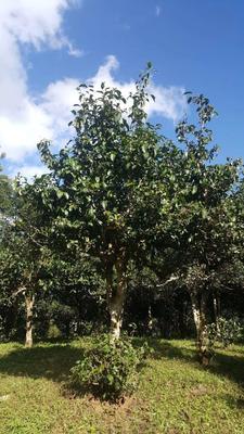 云南省西双版纳傣族自治州勐海县巴达少乔木大树茶 散装 一级