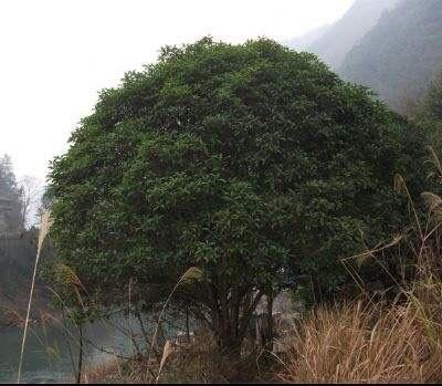 江苏省苏州市吴中区桂花树