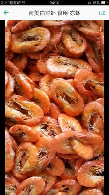 山东省滨州市沾化区南美对虾 人工殖养 5-7钱