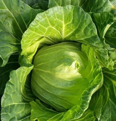 这是一张关于高丽菜 5.0斤的产品图片
