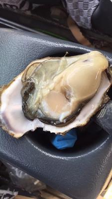 山东省青岛市胶南市青岛野生牡蛎 人工殖养 3-5只/公斤