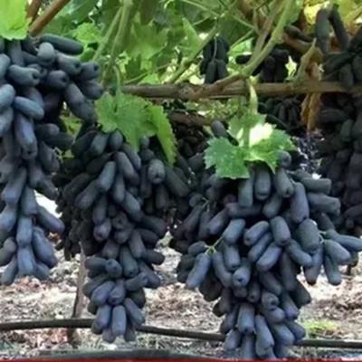 新疆维吾尔自治区哈密地区哈密市黑美人葡萄 5%以下 1次果 1-1.5斤