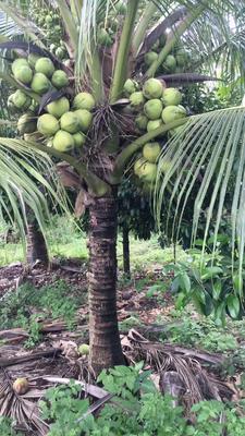 上海奉贤区泰国香水椰 2 - 2.5斤