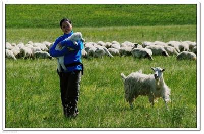 河北省石家庄市新华区绵羊 50-80斤