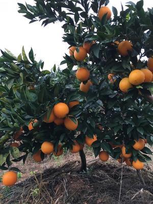 这是一张关于纽荷尔红肉脐橙苗 挂果树 1.5~2米的产品图片