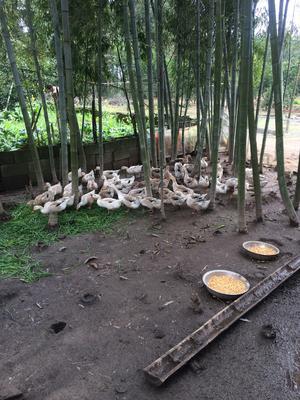 江西省抚州市金溪县土鸭 母 半圈养半散养 2-3斤