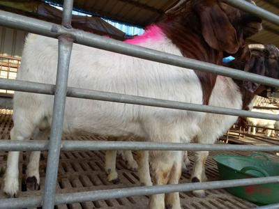 这是一张关于波尔山羊 80-110斤的产品图片