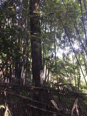 广西壮族自治区柳州市柳城县丛生朴树