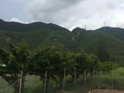 浙江省湖州市安吉县罗汉松