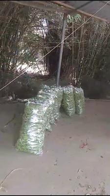 广西壮族自治区北海市海城区白花四季豆 10cm以上