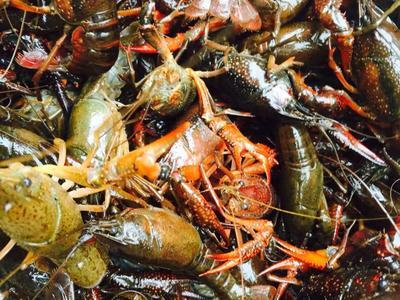 这是一张关于洞庭湖小龙虾 湖虾 5-7钱的产品图片