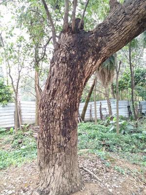 这是一张关于小叶樟的产品图片
