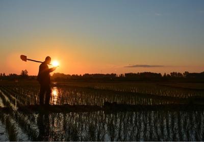 黑龙江省齐齐哈尔市铁锋区东北大米 非有机大米 晚稻 一等品