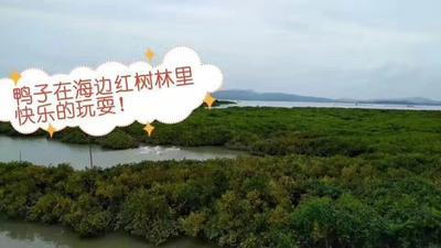 广东省阳江市阳西县海鸭蛋 食用 箱装