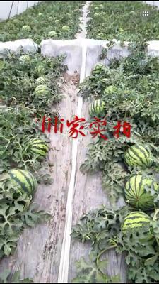 浙江省台州市黄岩区美都西瓜 无籽 1茬 8成熟 5斤打底