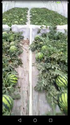 云南省德宏傣族景颇族自治州陇川县美都西瓜 无籽 1茬 9成熟 5斤打底