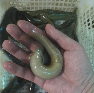 这是一张关于生态泥鳅 45尾/公斤 3-5cm 人工养殖的产品图片