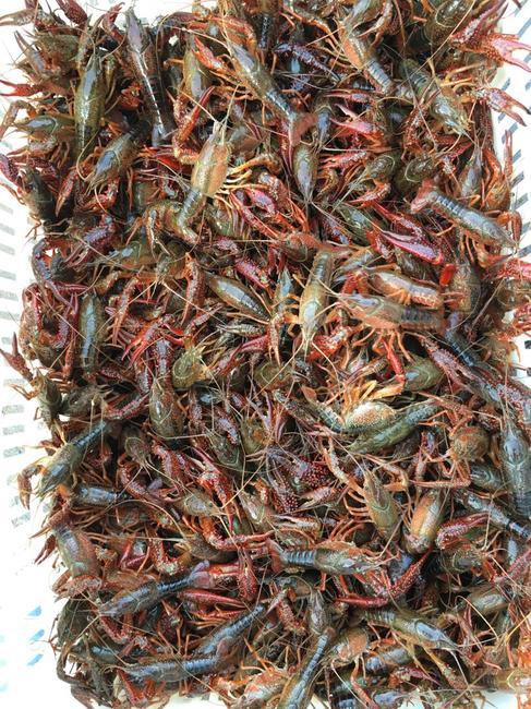 洞庭湖小龙虾 人工殖养 4-6钱