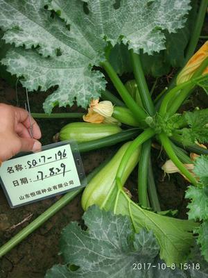 山东省潍坊市青州市西葫芦种子