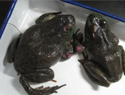 这是一张关于牛蛙的产品图片