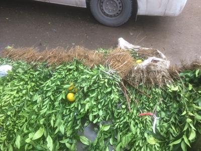 这是一张关于塔罗科血橙苗 嫁接苗 0.5~1米的产品图片