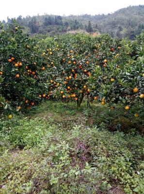 江西省赣州市章贡区赣南脐橙 90-95mm 4-8两
