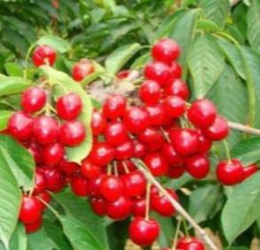这是一张关于红灯樱桃 15-20mm 8-12g的产品图片