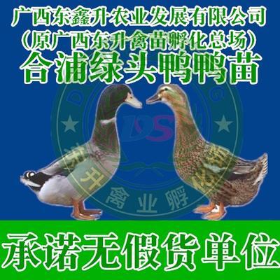 广西壮族自治区南宁市西乡塘区杂交鸭苗