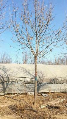 山东省滨州市无棣县老式白蜡 6.0米