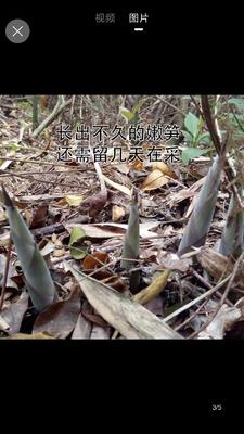 浙江省宁波市北仑区干笋尖 散装 1年以上