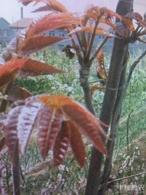 这是一张关于红油香椿芽 露天种植 散装 统货的产品图片
