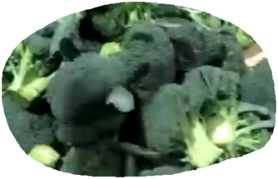 浙江省台州市临海市绿雄西兰花 1.2~1.5斤 10~15cm