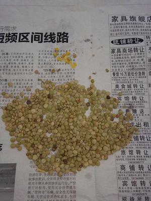 甘肃省定西市安定区小扁豆 1cm以上 10cm以下