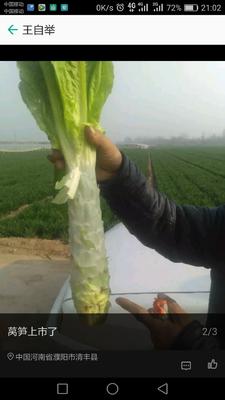 河南省濮阳市清丰县圆叶莴笋 28~40cm 2斤以上