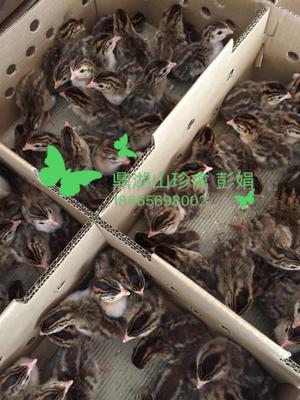 广东省广州市白云区灰色珍珠鸡 2斤以下
