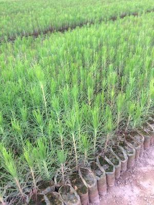 广西壮族自治区钦州市灵山县湿地松树苗