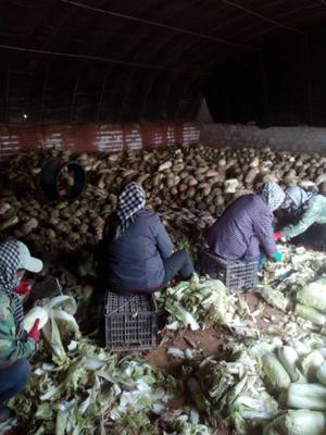 辽宁省锦州市凌海市91-12白菜 6~10斤 净菜