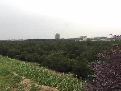 陕西省西安市户县白皮松