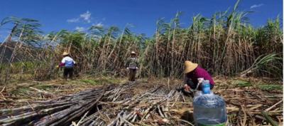云南省红河哈尼族彝族自治州弥勒市甘蔗渣及甘蔗纸浆 1.0m 1.0cm